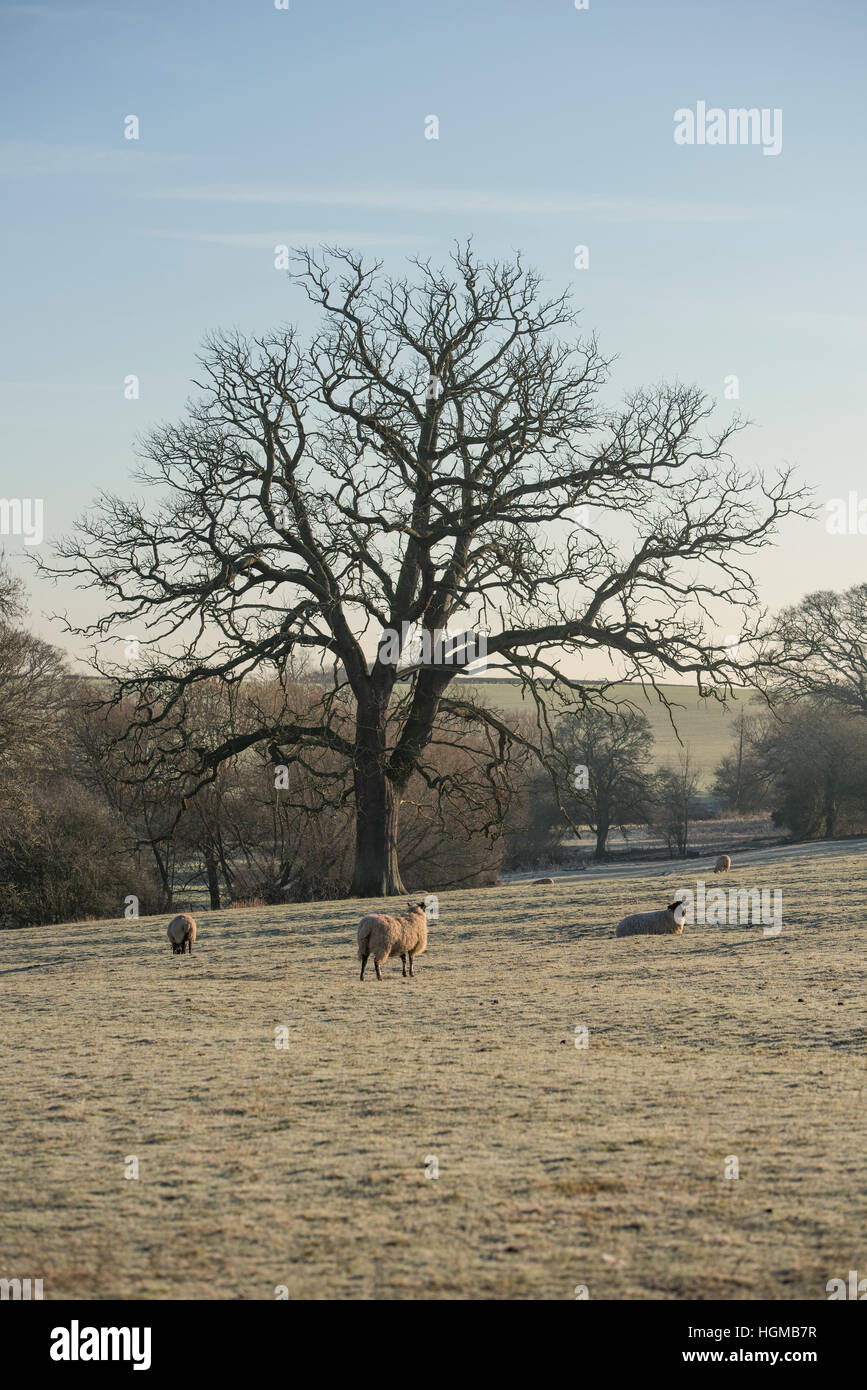 Oak tree in winter near Broughton Hackett in Worcestershire, England Stock Photo