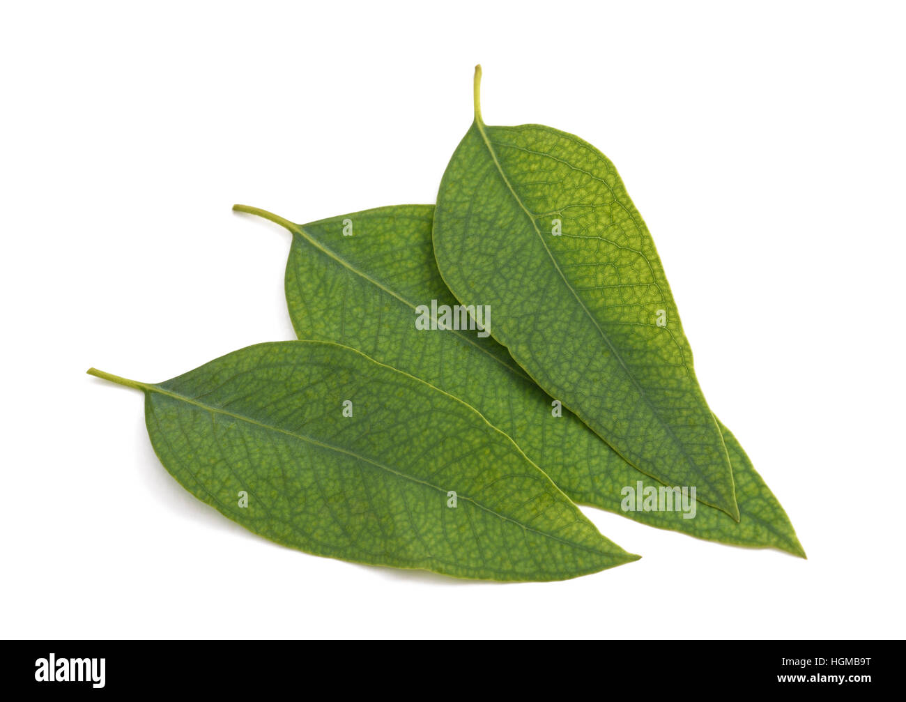 eucalyptus leaves isolated on a white background - Stock Image