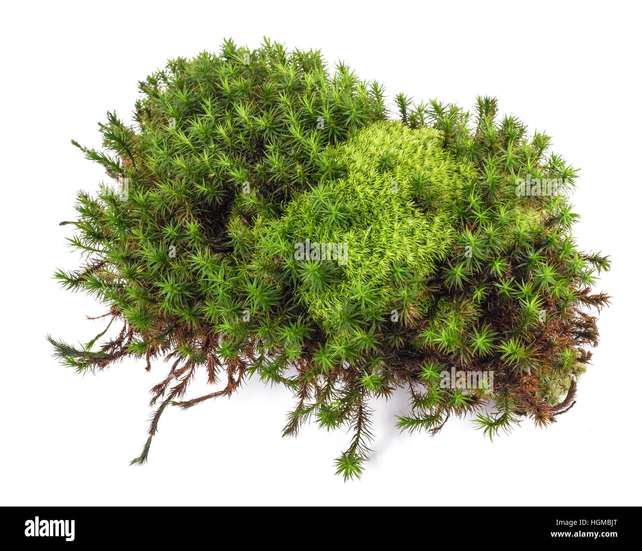 Green moss on white background - Stock Image