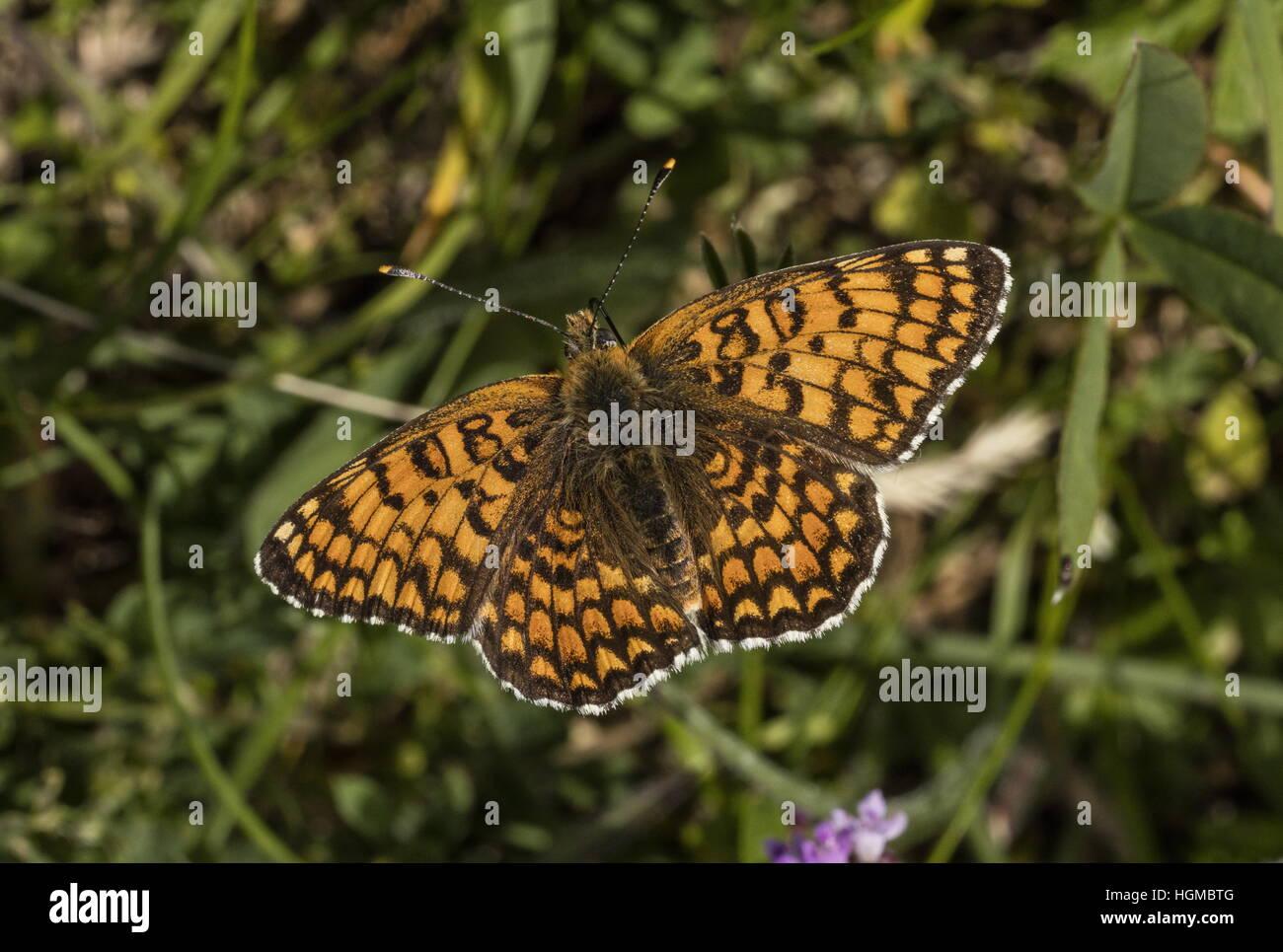Knapweed Fritillary, Melitaea phoebe feeding on thyme and other flowers, Hungary. - Stock Image