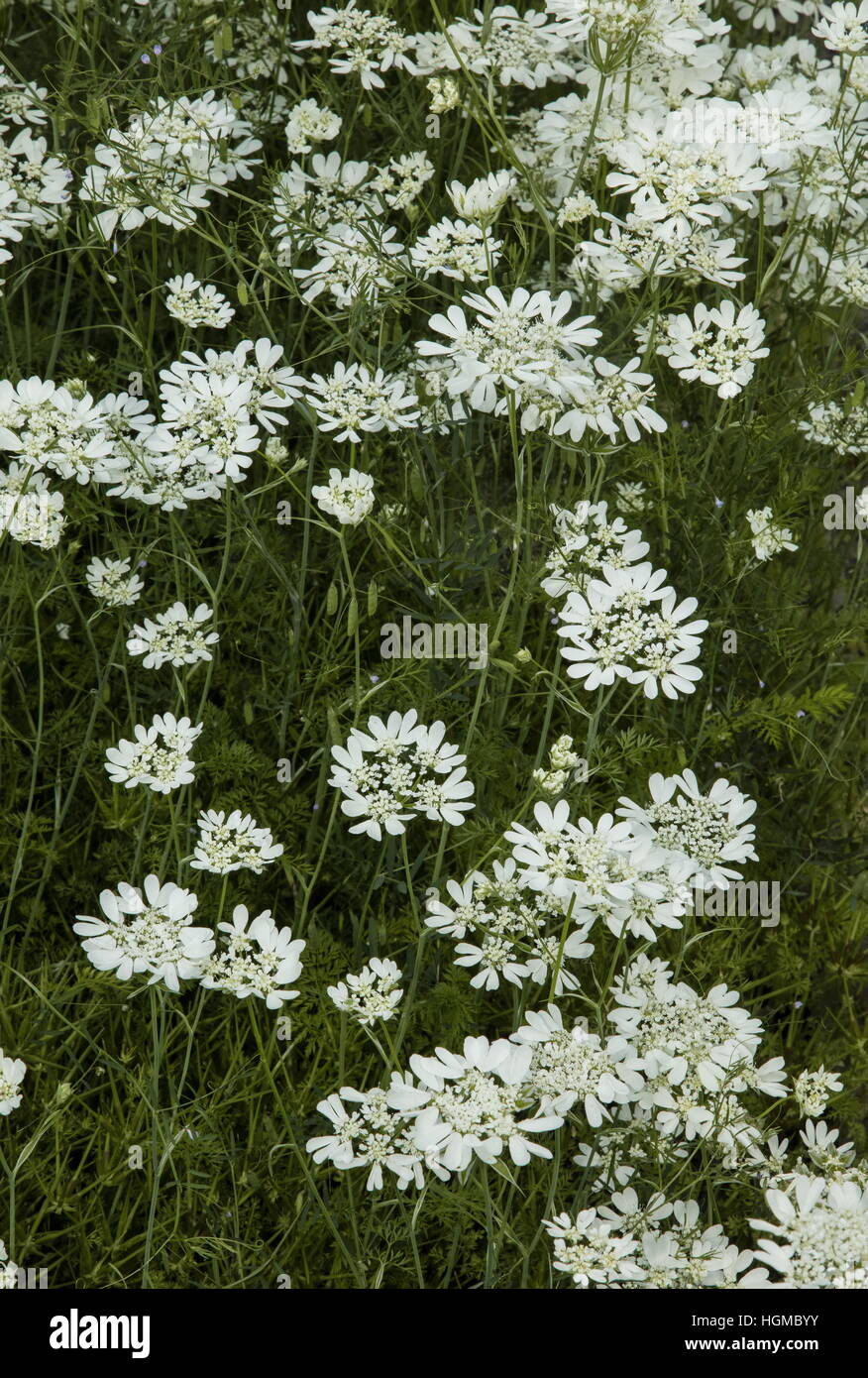 White laceflower, white lace flower, Orlaya grandiflora Stock Photo