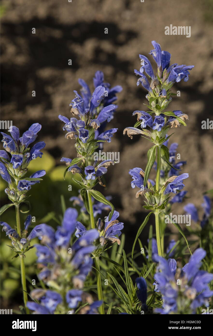 Dragon's Head, Dracocephalum grandiflorum, from Siberia, widely grown in gardens. - Stock Image