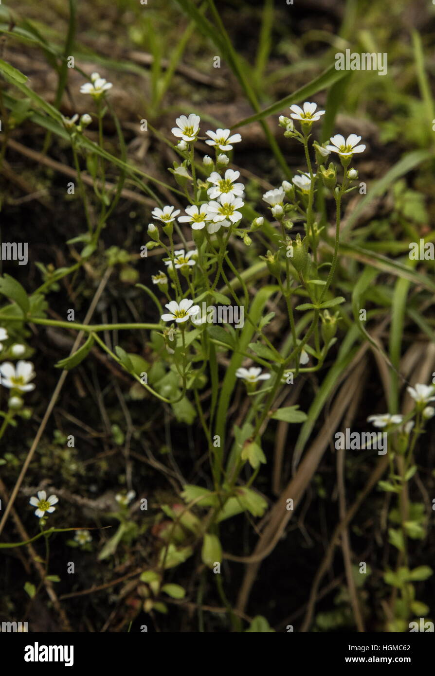 Biennial saxifrage Saxifraga adscendens, in flower in the Tatra mountains, Poland. - Stock Image