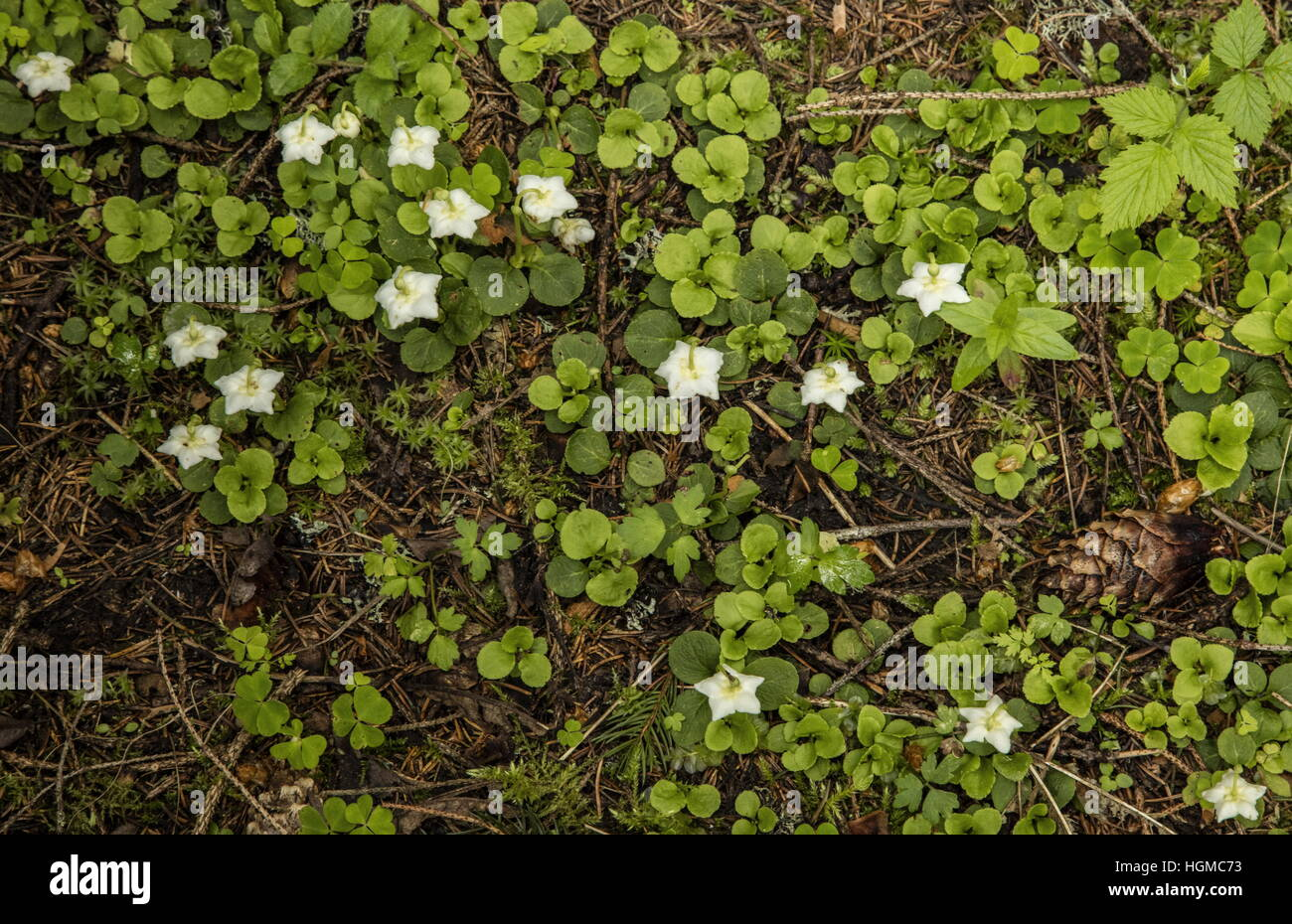 One-flowered Wintergreen, Moneses uniflora, mass in flower vin the Tatra Mountains, Poland. - Stock Image