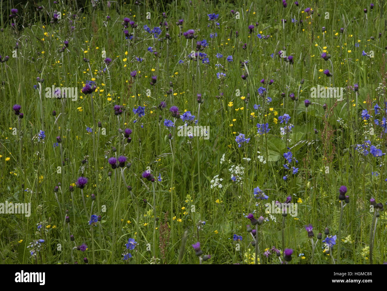 Wet meadows in nature reserve in Hnilec valley, Slovakia; with Jacob's ladder, Brook Thistle etc. - Stock Image
