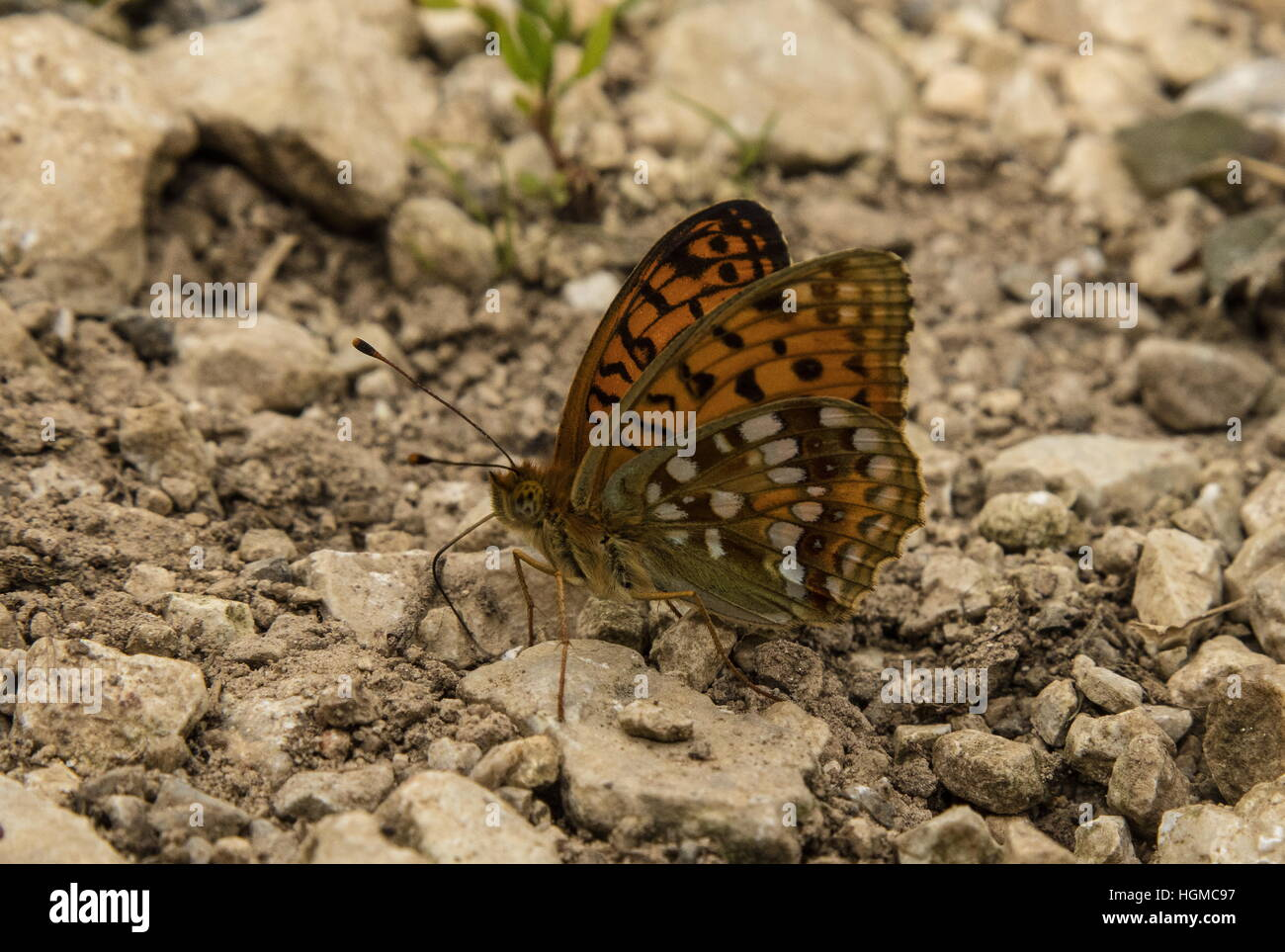High Brown fritillary,  Argynnis adippe feeding on damp limestone riverside gravel. - Stock Image