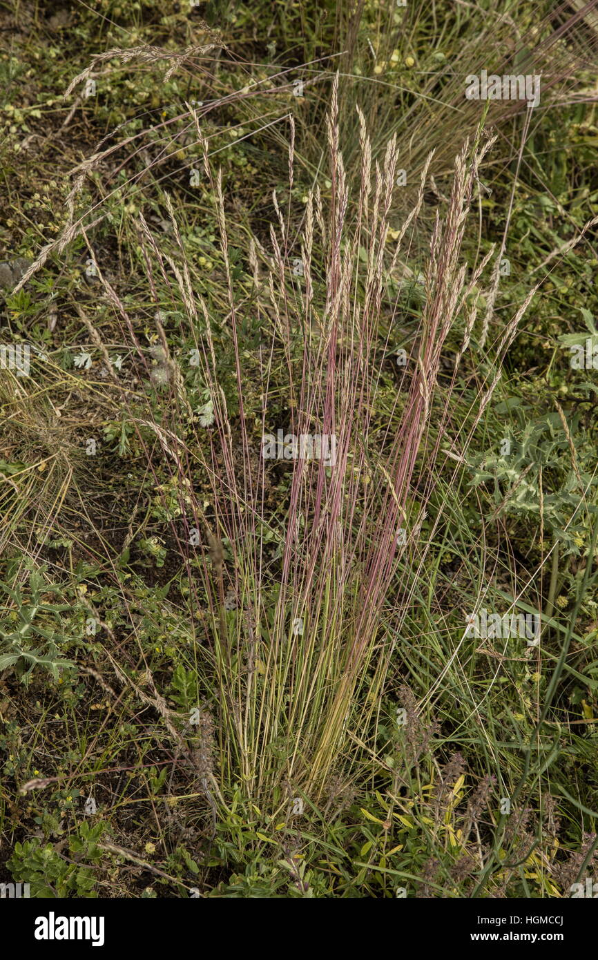 A Fescue grass, Festuca rupicola in dry limestone vegetation, Hungary. - Stock Image