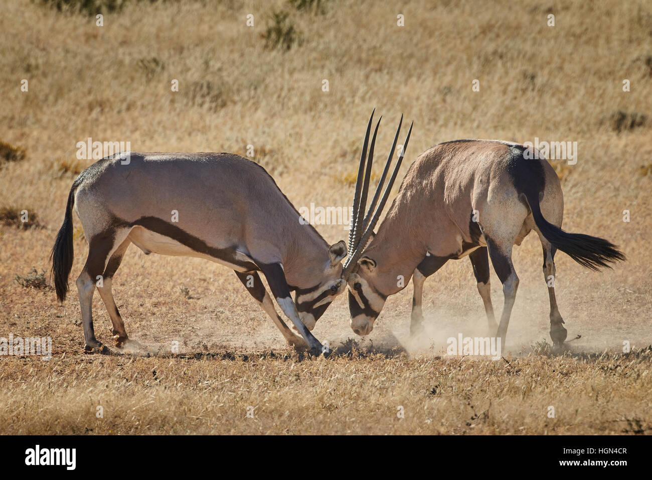 A pair of Gemsbok (Oryx) rut in the Kgalagadi Transfrontier National Park, South Africa. - Stock Image