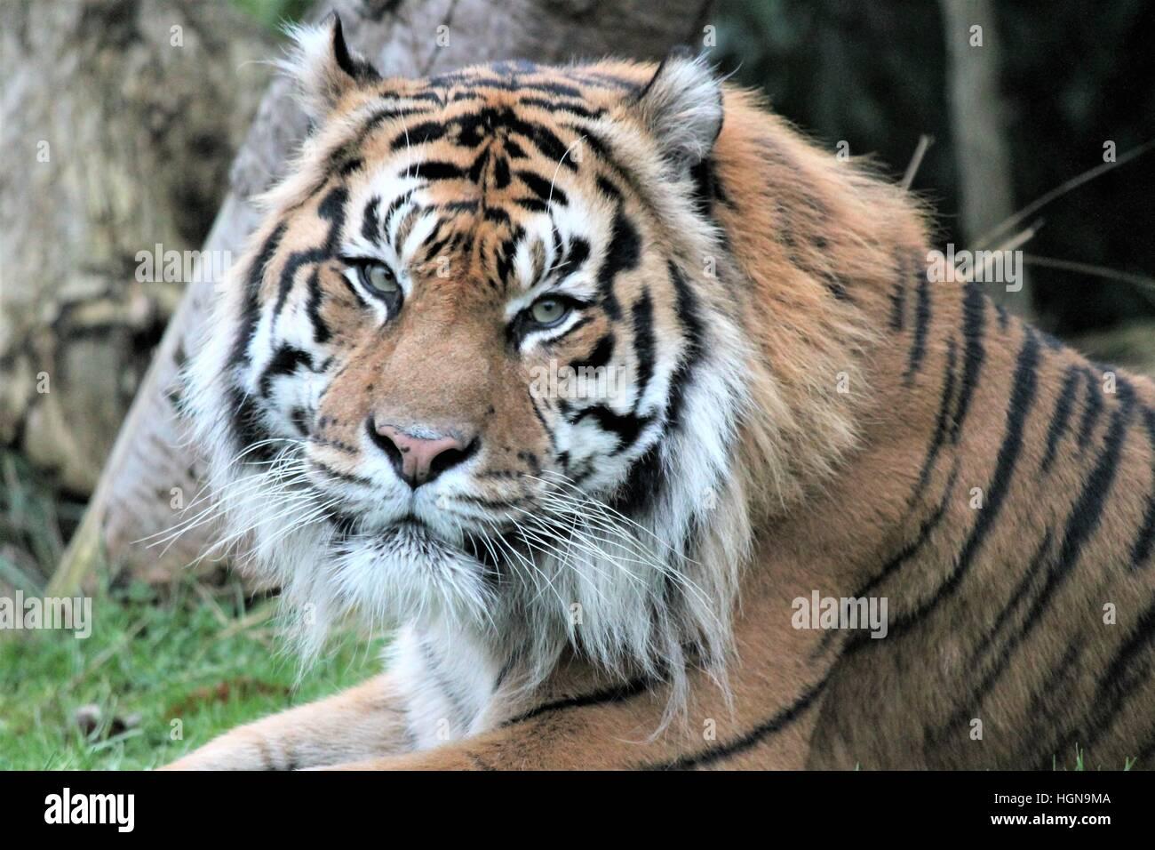 tiger : Sumatran tiger (Panthera tigris sumatrae) is a rare tiger subspecies that inhabits the Indonesian island Stock Photo