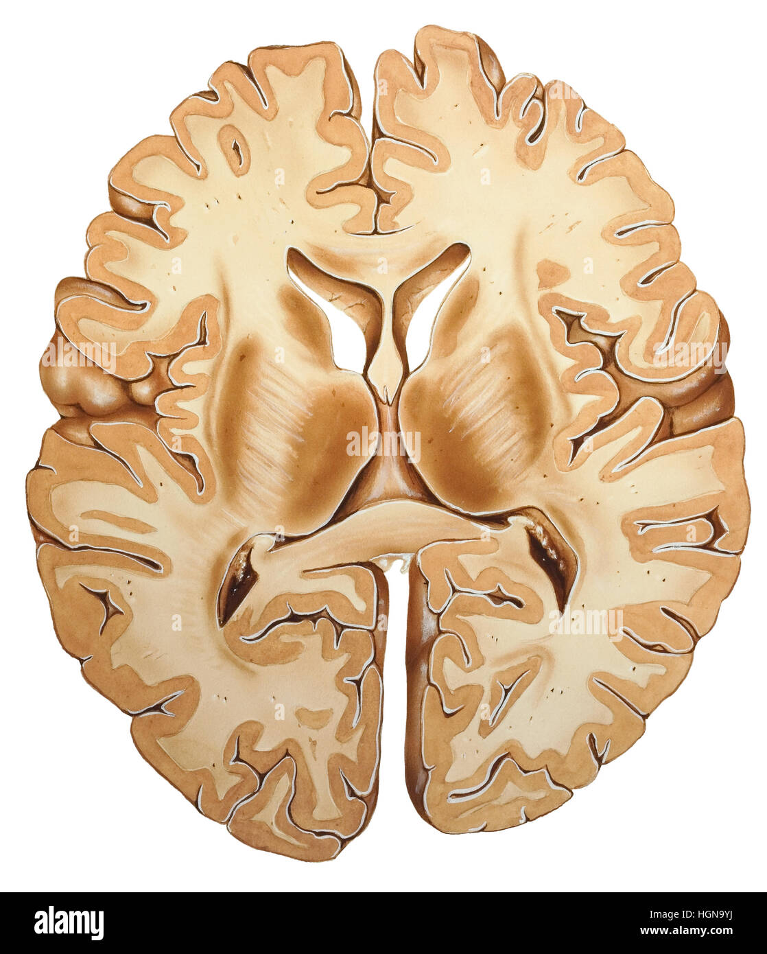 Shown is the cerebral cortex, which is the deeply convoluted surface ...