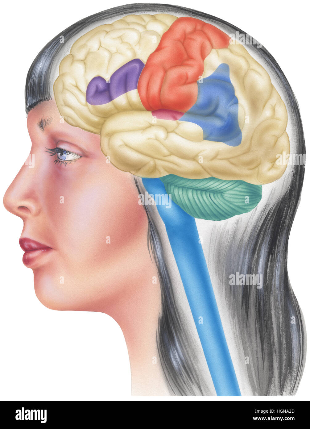 Side view of the human brain in the skull of a young woman. Shown are the parietal lobes, sensory cortex, angular - Stock Image