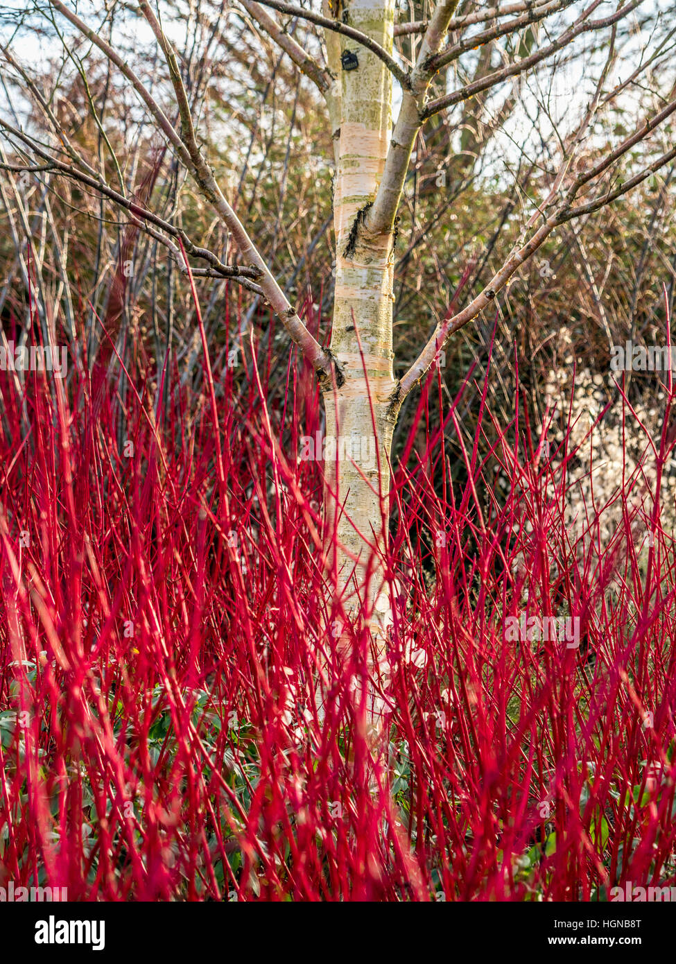 Cornus sanguinea 'Midwinter Fire' red winter stems and Silver birch tree in garde - Stock Image