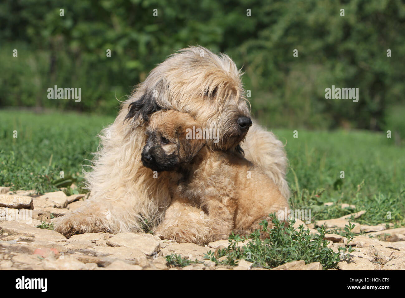dog Catalan Sheepdog / Gos d'atura català adult and  puppy lying in a garden face - Stock Image