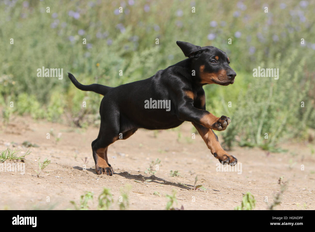 Dog Doberman Pinscher with (natural ears / natural tail) black and tan puppy running - Stock Image