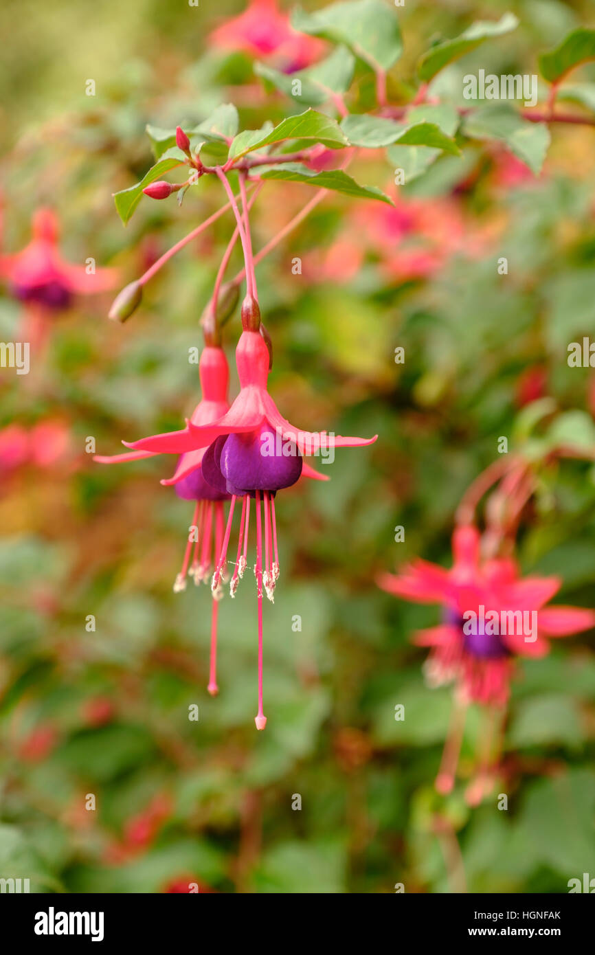 Hanging pink flowers stock photos hanging pink flowers stock the hanging flowers of a beautiful exotic pink and purple fuchsia stock image mightylinksfo