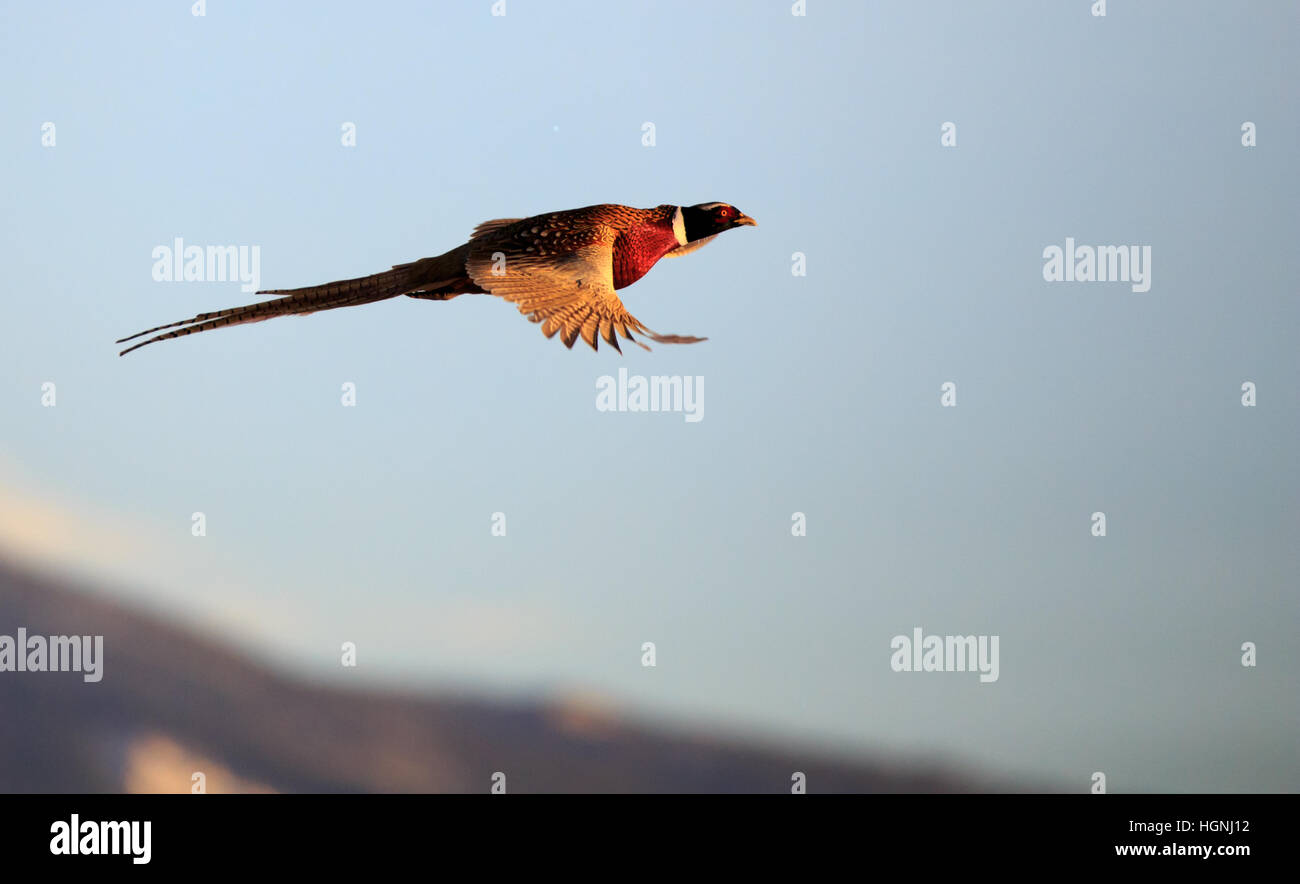 Flying Pheasant Stock Photos & Flying Pheasant Stock ...