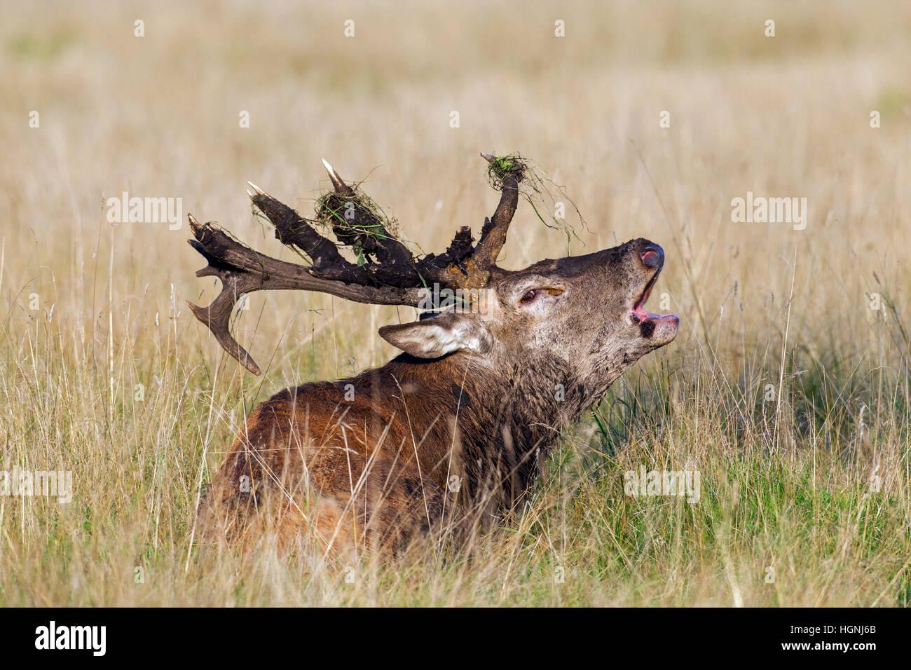 Red deer (Cervus elaphus) stag with broken antlers bellowing during the rut in autumn - Stock Image