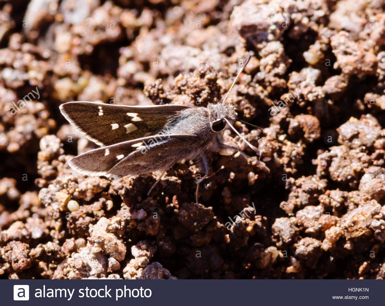 """White-barred Skipper Atrytonopsis pittacus Butterfly  """"New Mexico"""" Stock Photo"""