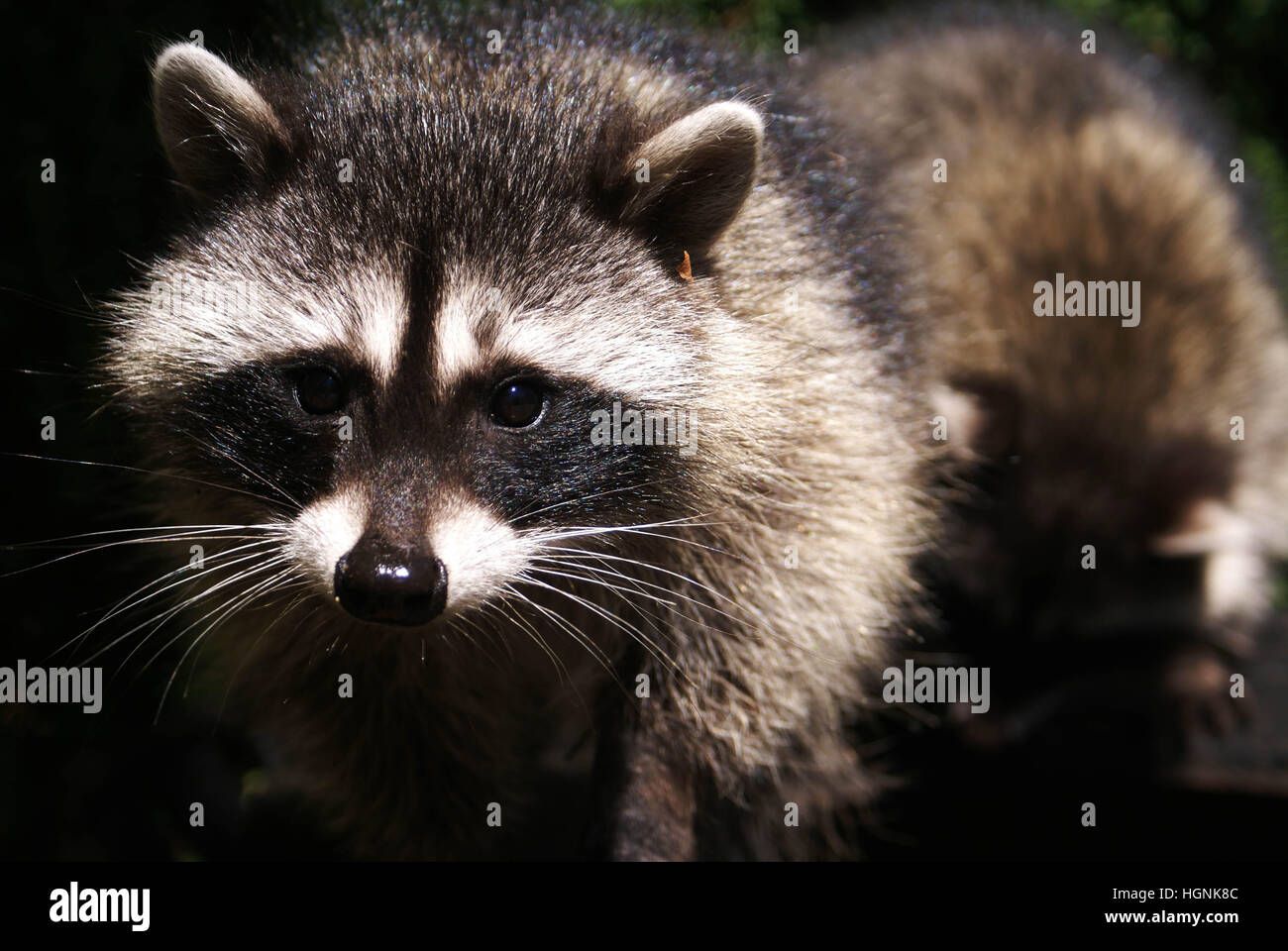 A Curious Raccoon looks directly into the camera - Stock Image