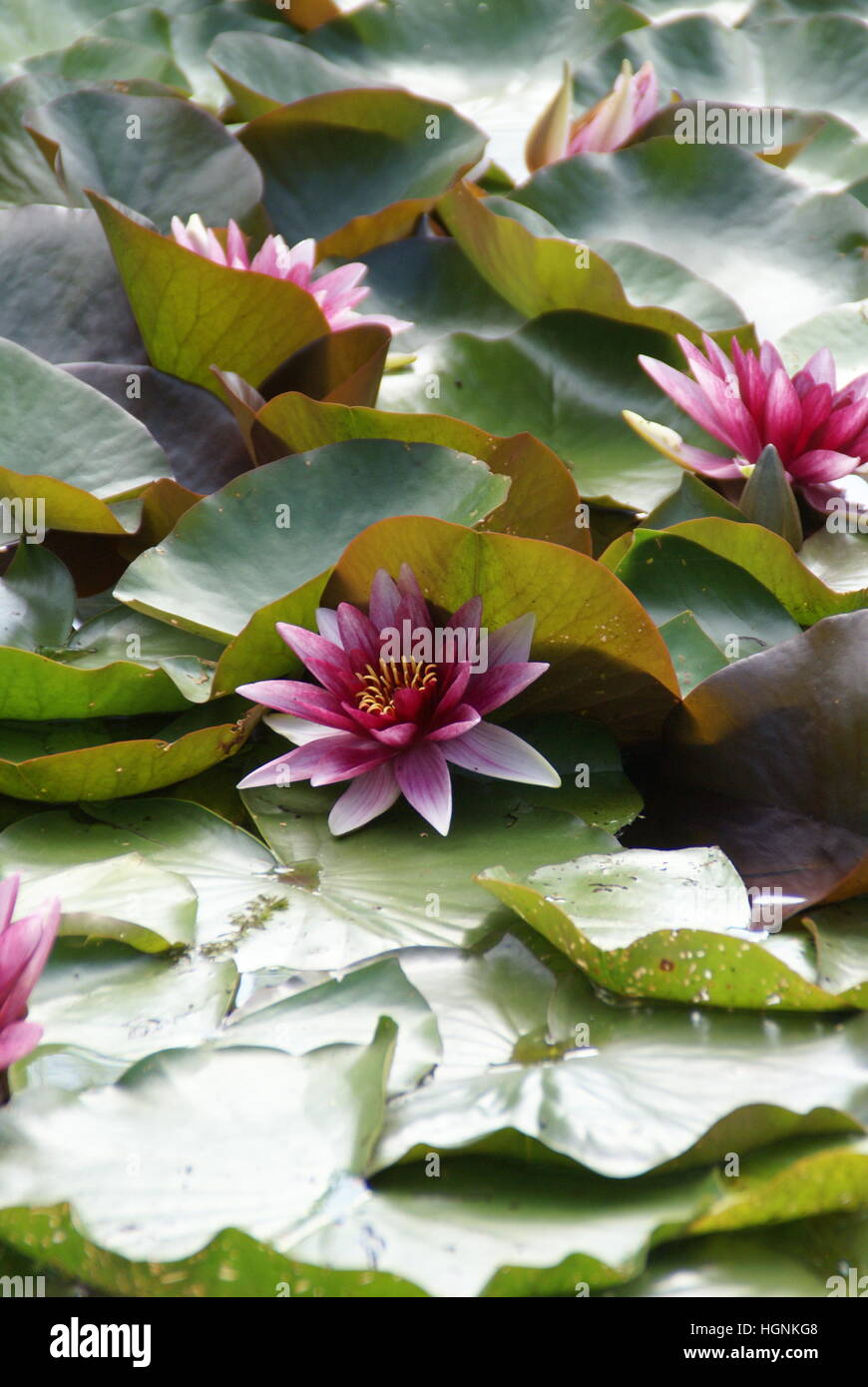 A water lily in a pond. - Stock Image