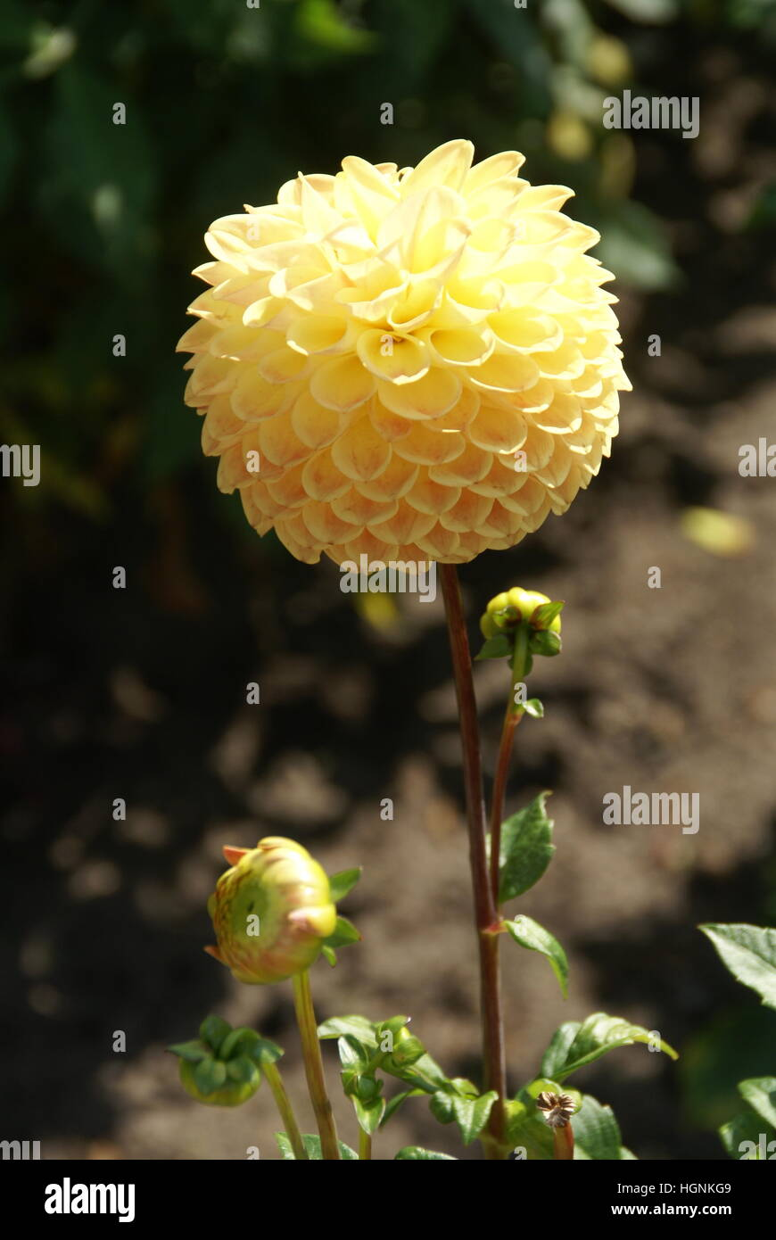 A chrysanthemum or yellow flower blooming. - Stock Image