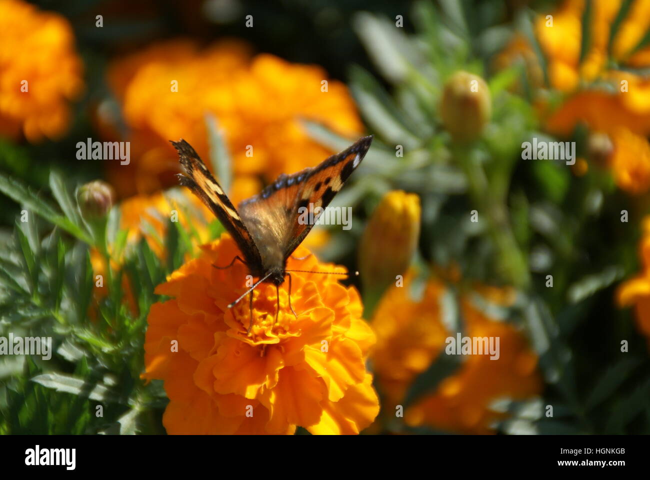 A butterfly sitting on a marigold, pollinating it. - Stock Image