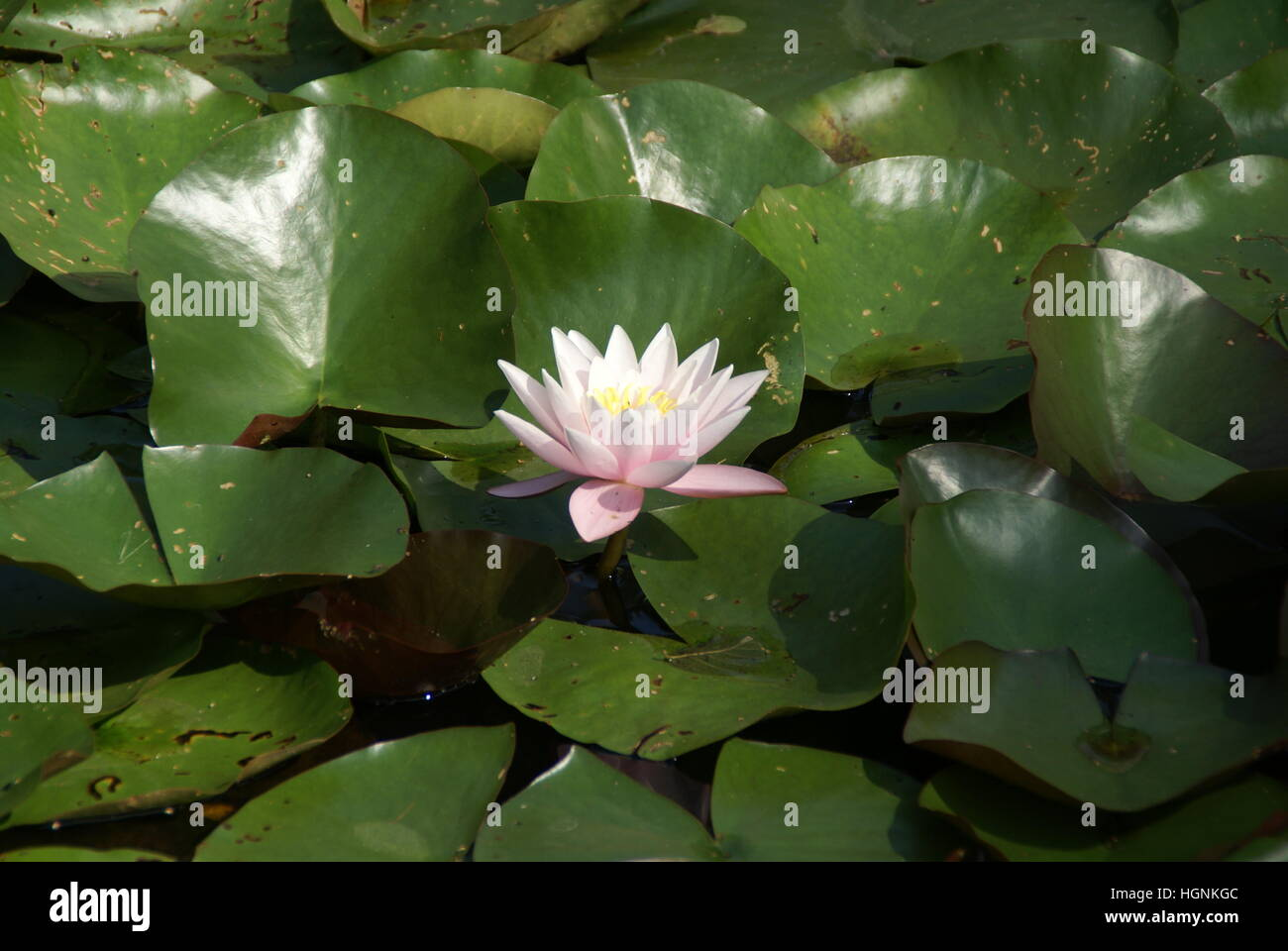 A water lily blooming in a pond. - Stock Image