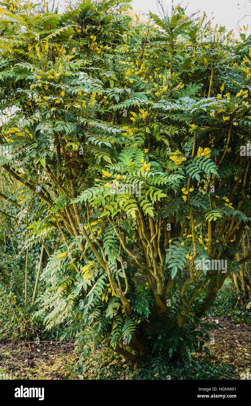 Long-flowering Mahonia in flower in January UK towards the end of four months in flower - Stock Image