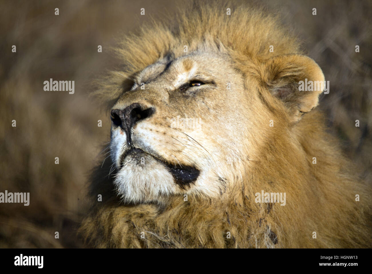 Close up of male lion with head tilted - Stock Image