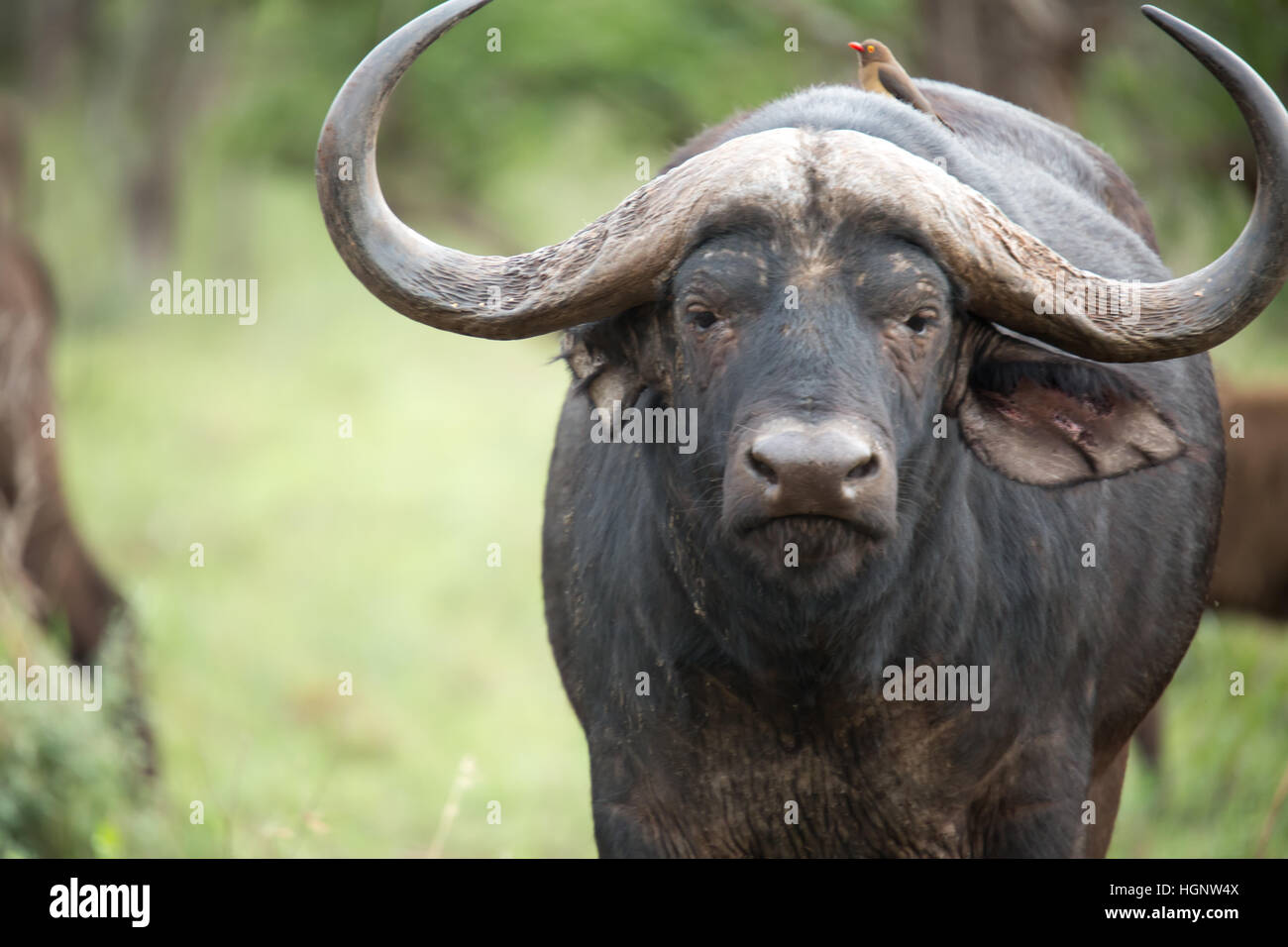 Close up of young buffalo - Stock Image