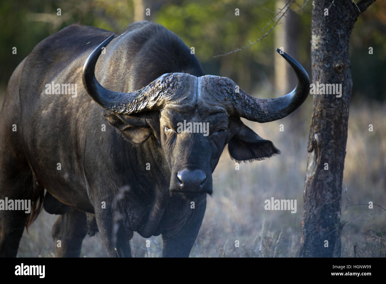 Older buffalo standing in dry grass - Stock Image