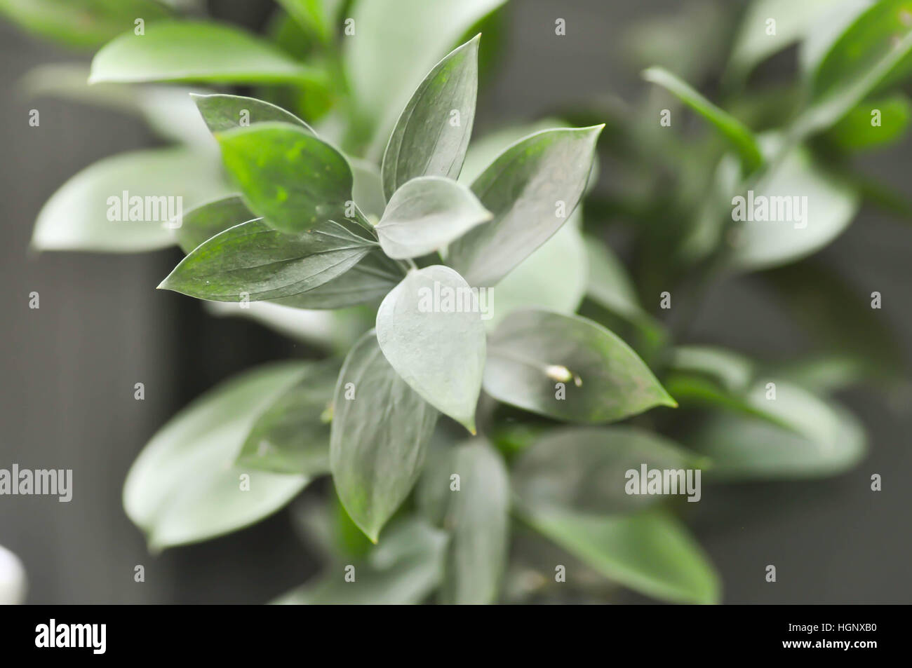 Israeli Ruscus Green Leaves