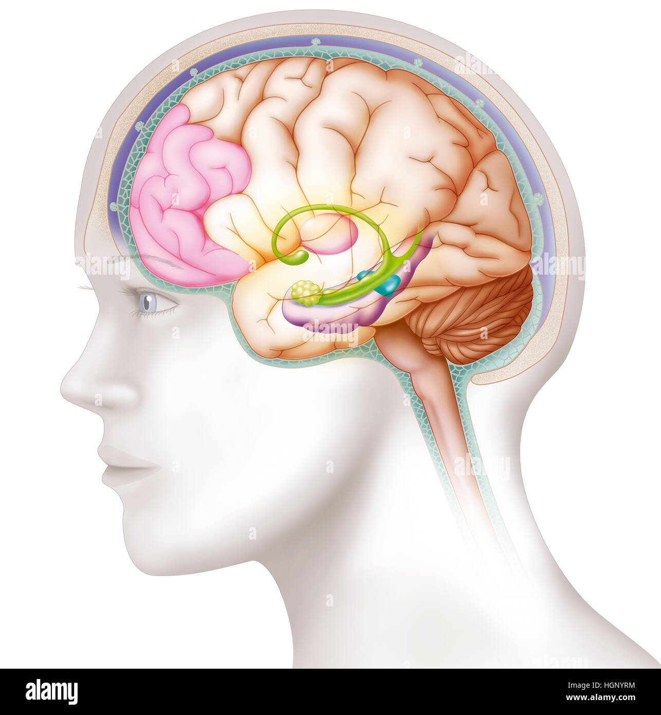 BRAIN, ILLUSTRATION - Stock Image