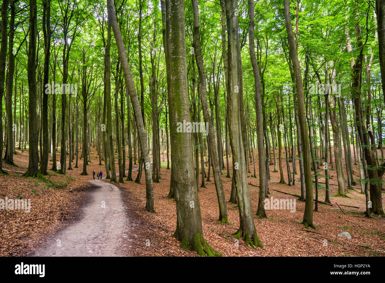Primeeval Beech Forest at Jasmund National Park on the island of Rügen, Mecklenburg-Vorpommern, Germany - Stock Image