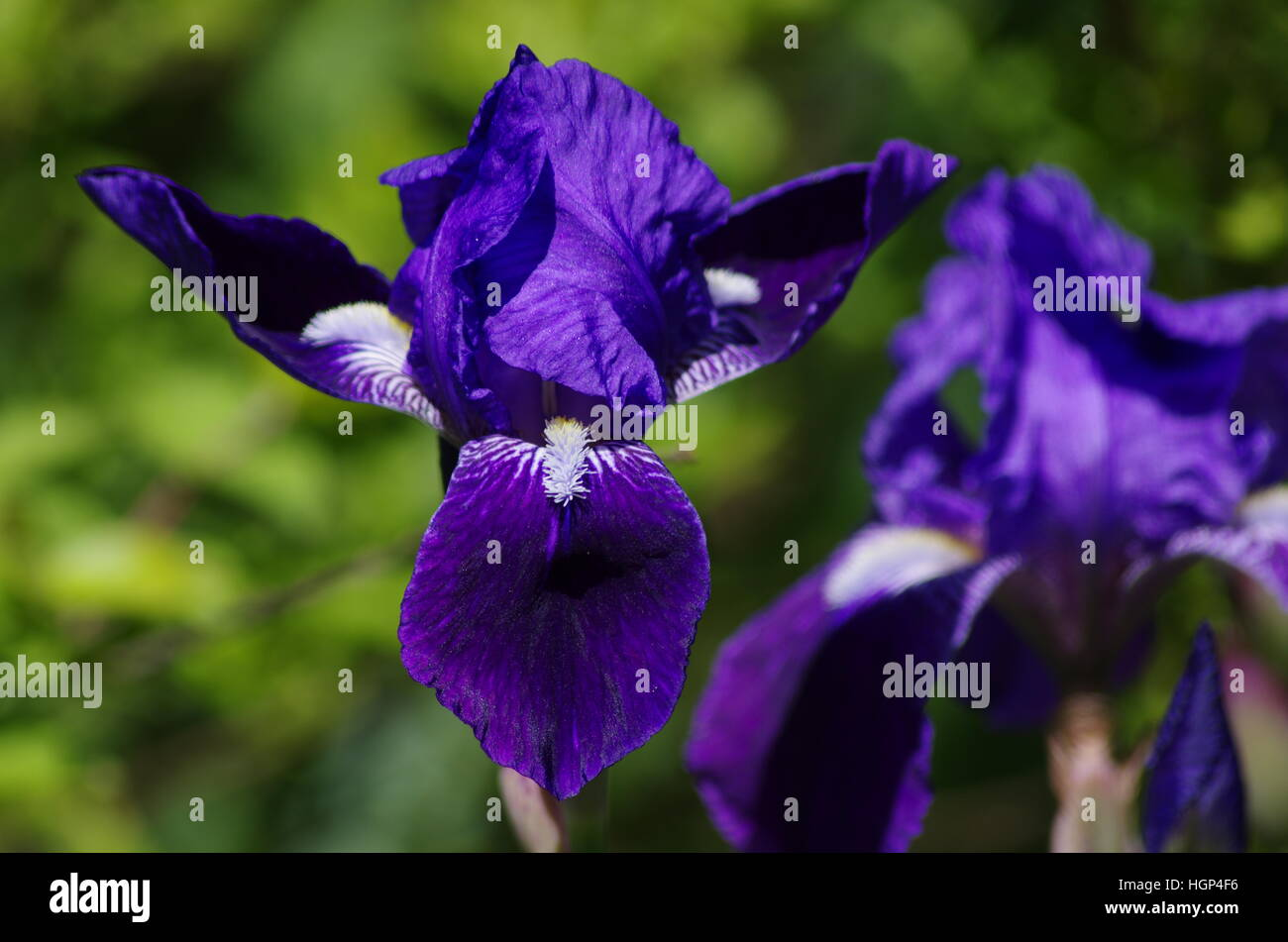 White iris flowers stock photos white iris flowers stock images bright purple yellow and white iris flowers one focused in foreground and the other blurry in izmirmasajfo