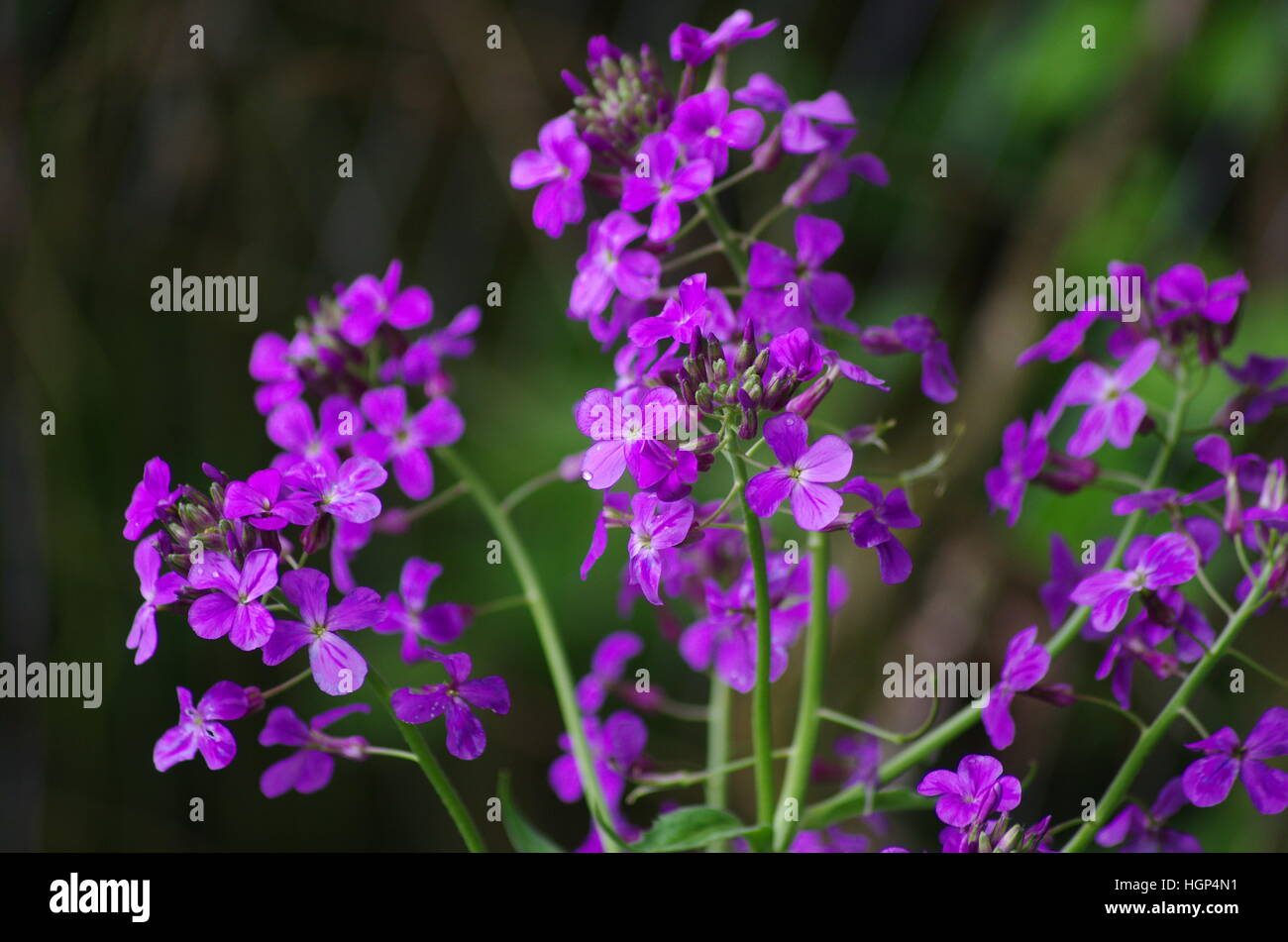 Bright Small Clusters Of Purple And White Flowers On Green Stems In