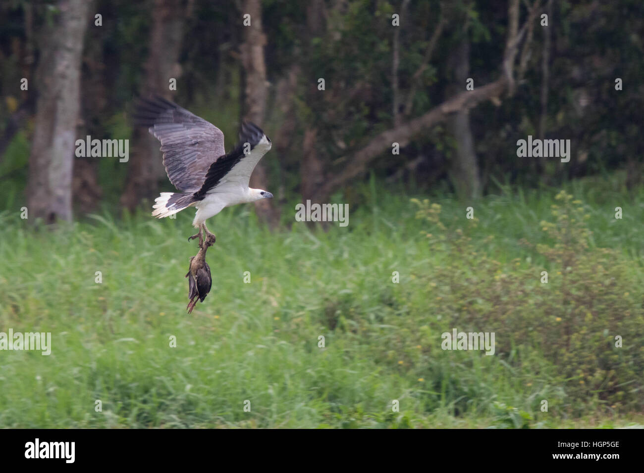 White-bellied Sea Eagle (Haliaeetus leucogaster) carrying a dead Plumed Whistling-duck (Dendrocygna eytoni) Stock Photo