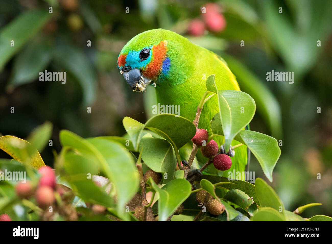 male Double-eyed Fig-parrot (Cyclopsitta diophthalma) eating figs - Stock Image