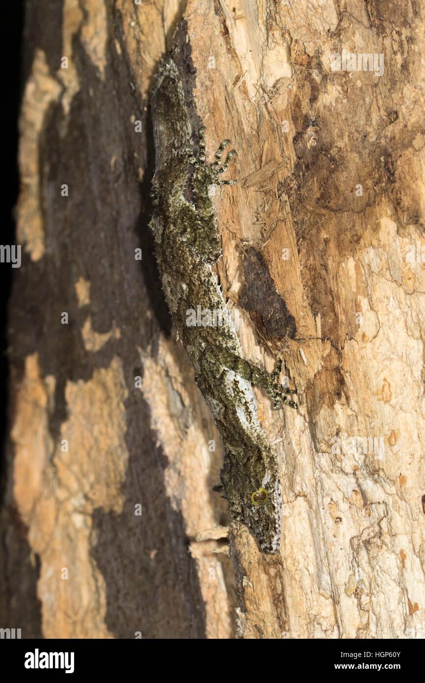 Northern Leaf-tailed Gecko (Saltuarius cornutus) - Stock Image