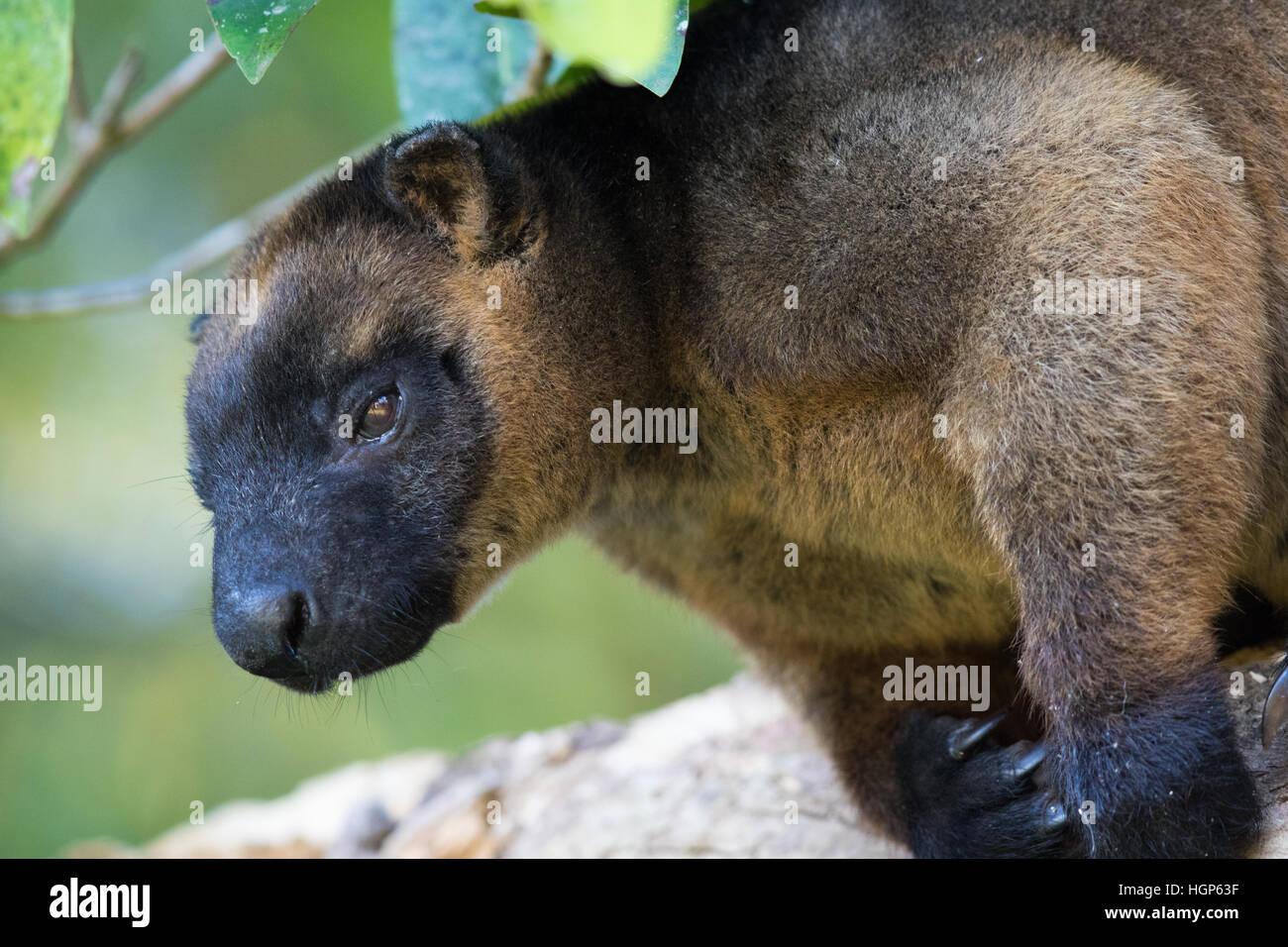 male Lumholtz's Tree Kangaroo (Dendrolagus lumholtzi) - Stock Image