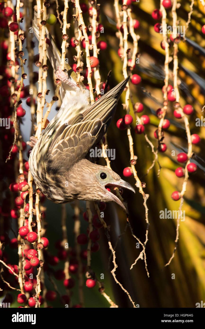 female Australasian Figbird (Sphecotheres vieilloti) feeding on  Alexandria Palm (Archontophoenix alexandrae) fruit Stock Photo