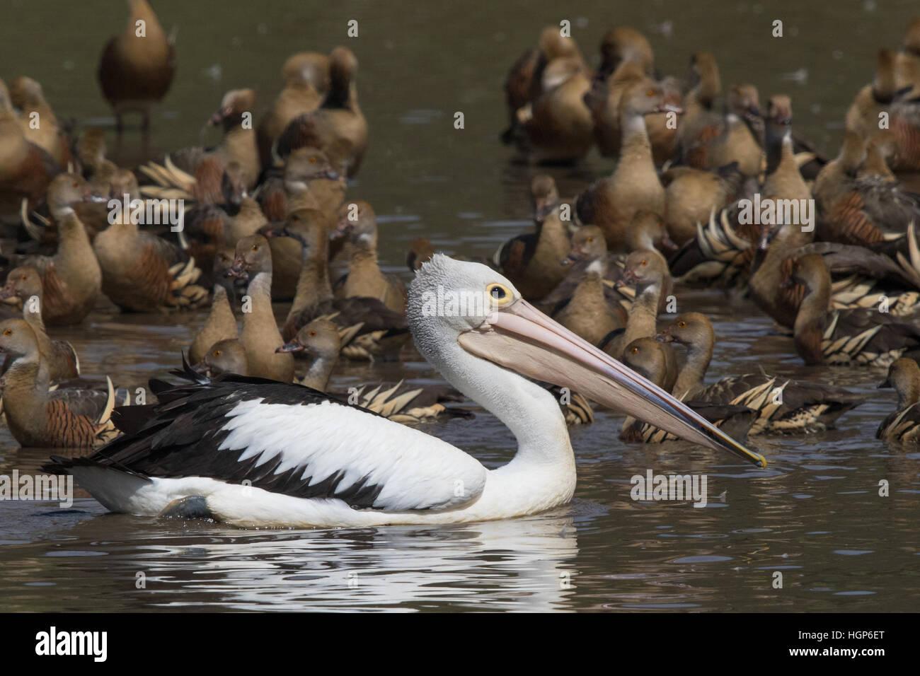 Australian Pelican (Pelecanus conspicillatus) swimming amongst a flock of Plumed Whistling-ducks (Dendrocygna arcuata) Stock Photo