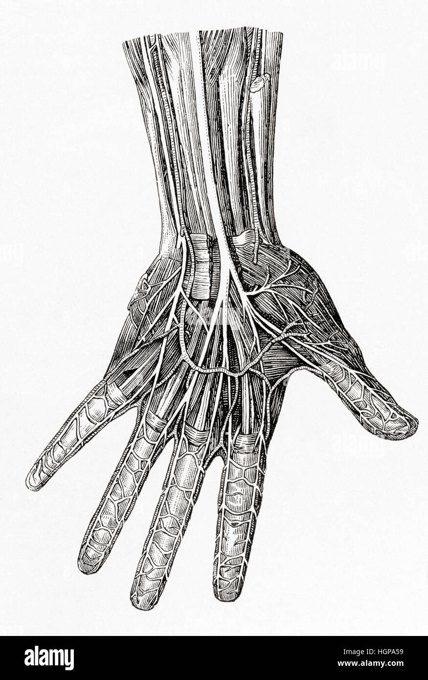 Diagram showing the nerves of the human hand.  From Meyers Lexicon, published 1924. - Stock Image