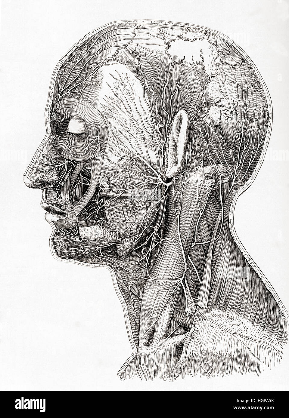 Diagram showing the superficial nerves of the human head and neck. From Meyers Lexicon, published 1924. - Stock Image