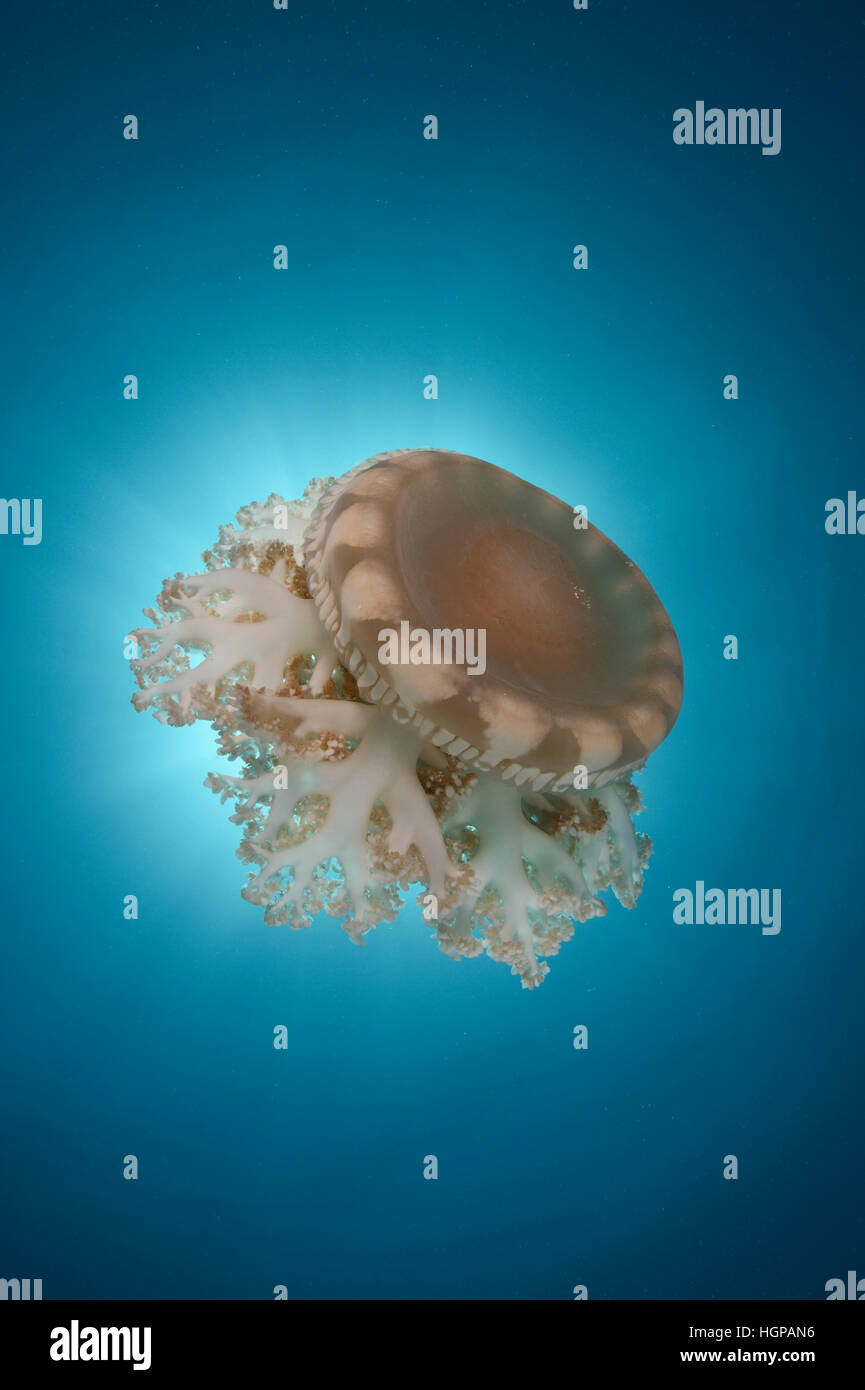 A jellyfish Aurelia cf. aurita is drifting in the current in the clear blue waters next to the surface of the Red - Stock Image
