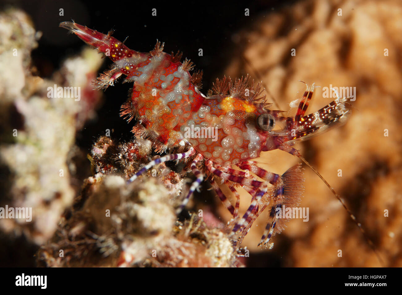 A macro close-up shot of the Red Sea marble shrimp called Saron marmoratus sitting on the coral. - Stock Image