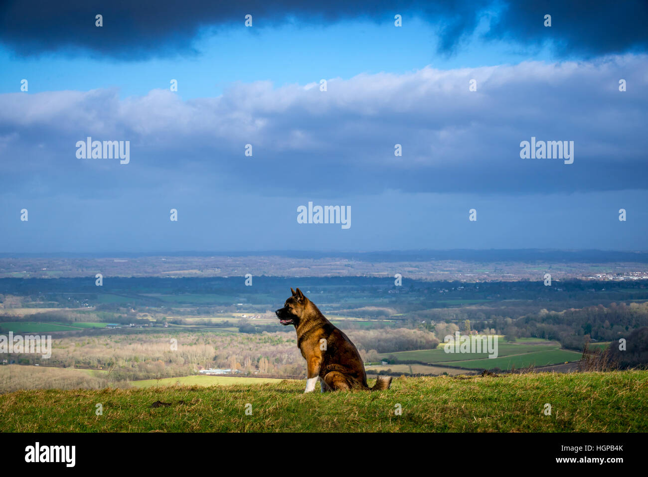 An American Akita dog in the South Downs National Park - Stock Image