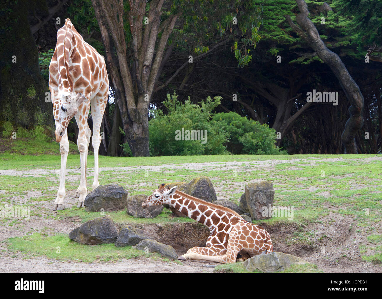 mother giraffe bending down to look at baby laying on the ground, encouraging youngster to get up, green grass, - Stock Image