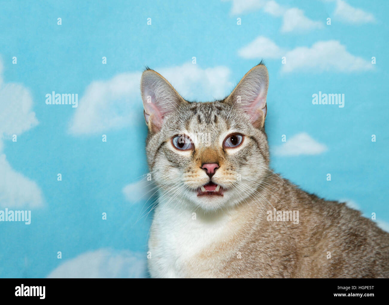 Portrait of an adult silver siamese cat mouth open in distress trying to breath, looking at viewe eyes glassy, blue - Stock Image