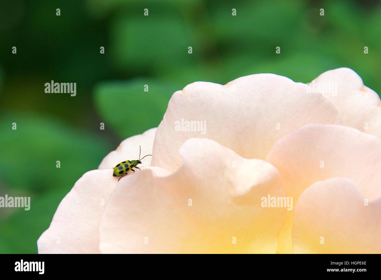 A spotted cucumber beetle, Diabrotica undecimpunctata, a major agricultural pest insect of North America seen on - Stock Image